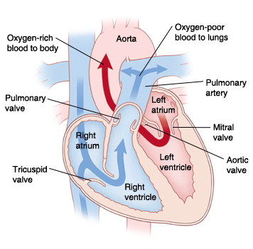 Front view cross section of heart showing atria on top and ventricles on bottom showing aorta, pulmonary artery, mitral valve, aortic valve, left atrium, left ventricle, right atrium, right ventricle, tricuspid valve, pulmonary valve, superior vena cava, and inferior vena cava. Arrows on right side of heart show oxygen-poor blood pumping to lungs. Arrows on left side of heart show oxygen-rich blood pumped to body.