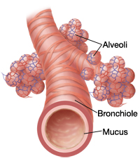 Anatomy of bronchiole and alveoli.
