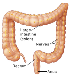 Front view of colon showing nerves.